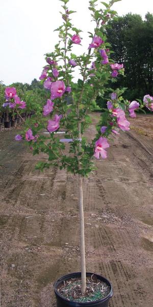 Flowering ornamental trees zone 9 for Best ornamental trees for zone 7
