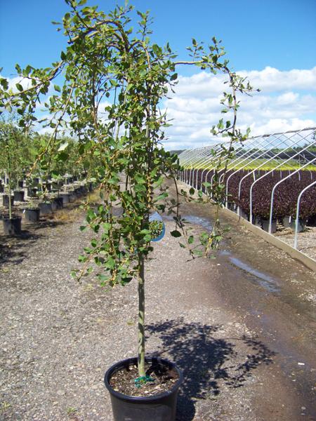 Dwarf Umbrella Tree - Houseplants For You
