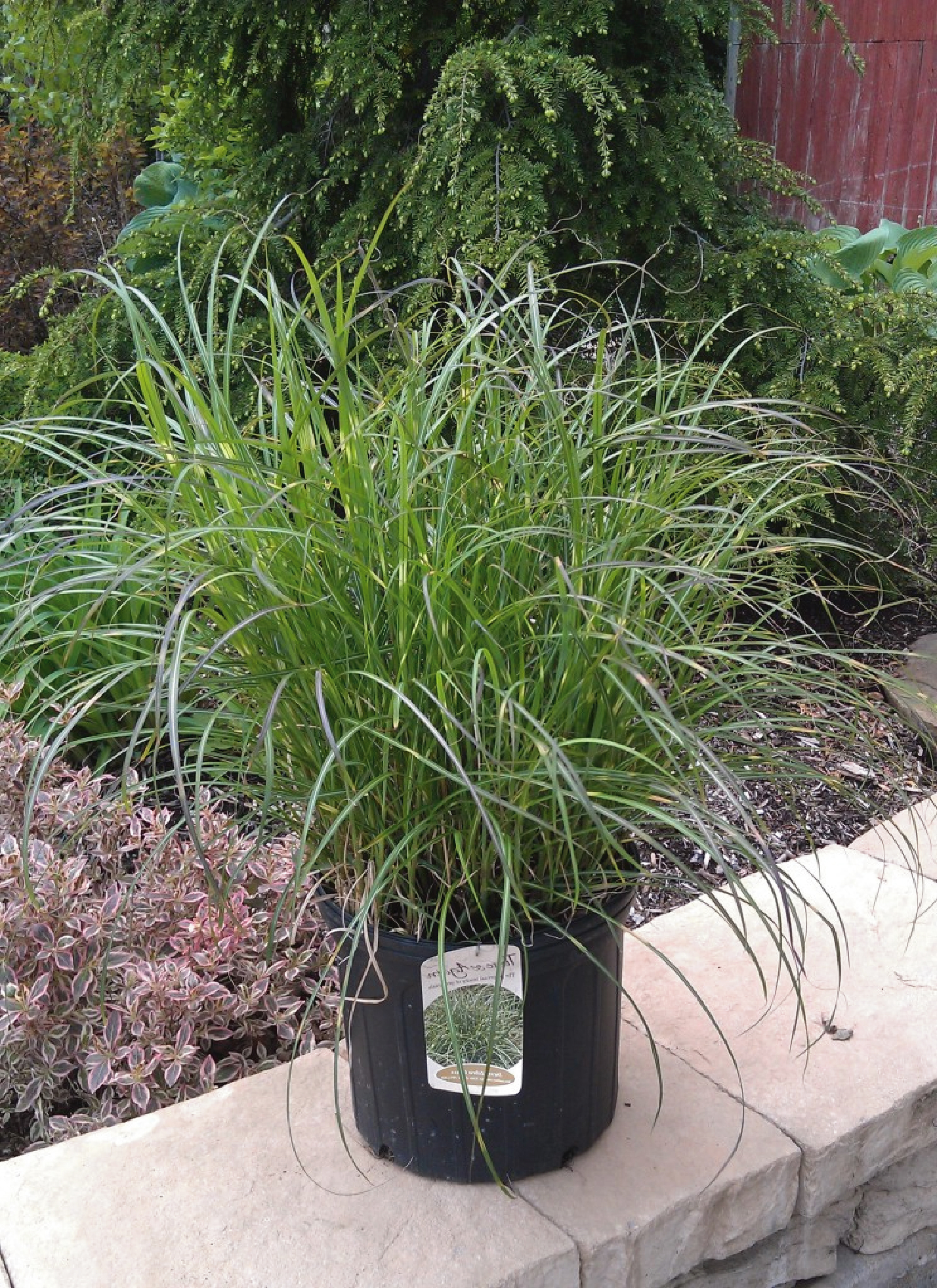 Ornamental grasses zone 5 - Excellent Compact Form Similar To Strictus Yellow Banded Green Foliage With Reddish Plumes Appearing July Sept 5 Available In Summer Zone 5