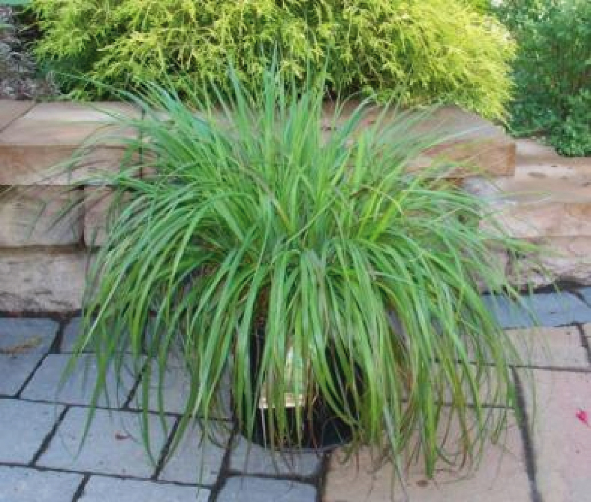 Ornamental grasses zone 5 - Attractive Light Green Grass Blooms Buff Colored Plumes June Sept 4 Zone 5 Size 3 View More Details