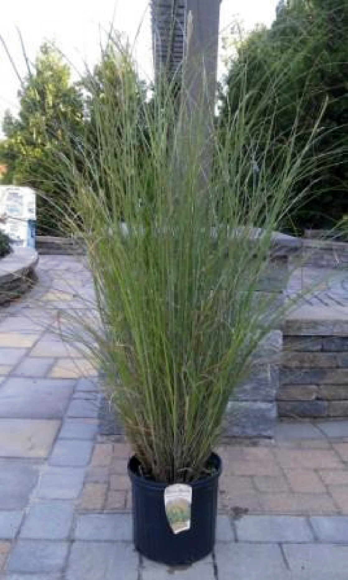 medford nursery ornamental grass, Natural flower