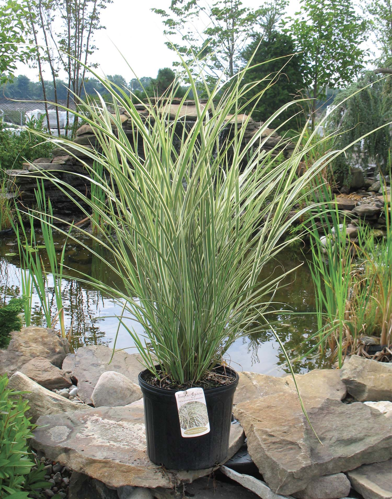 Green and white striped ornamental grass 100 images for Variegated ornamental grass