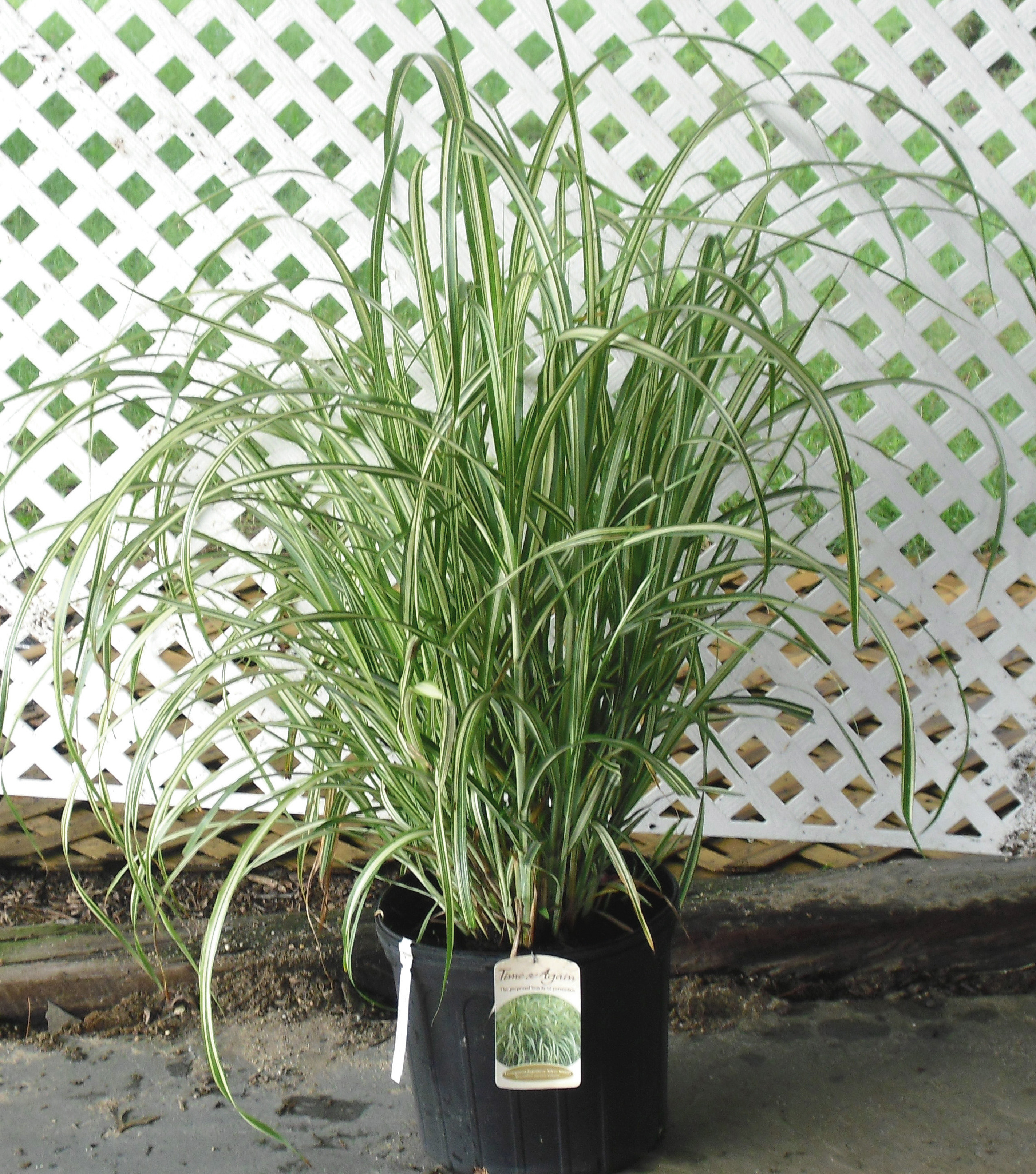 Ornamental grasses zone 5 - Please Select Product By Botanical Name Grasses Miscanthus Sinensis