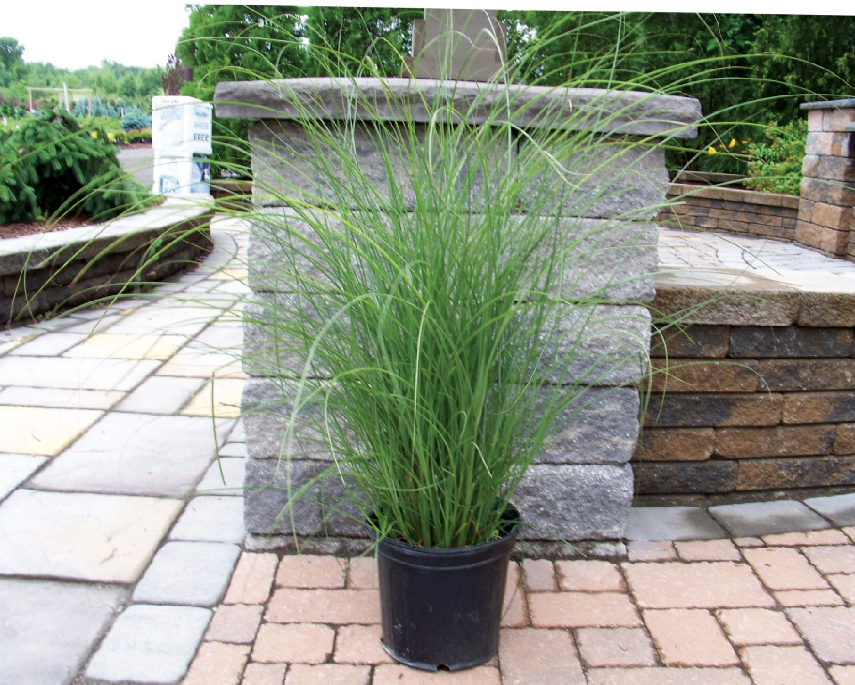 Maiden ornamental grass 100 images how to select for Ornamental grass in containers for privacy