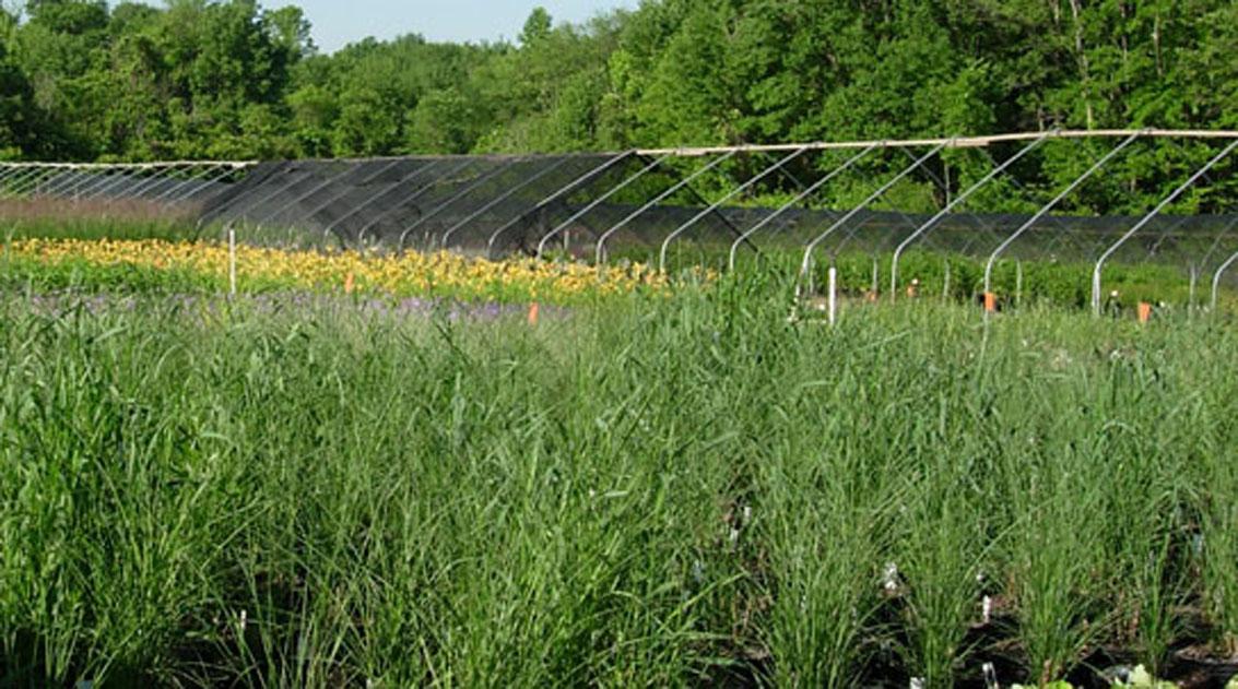 Medford nursery ornamental grass medford nursery ornamental grasses workwithnaturefo
