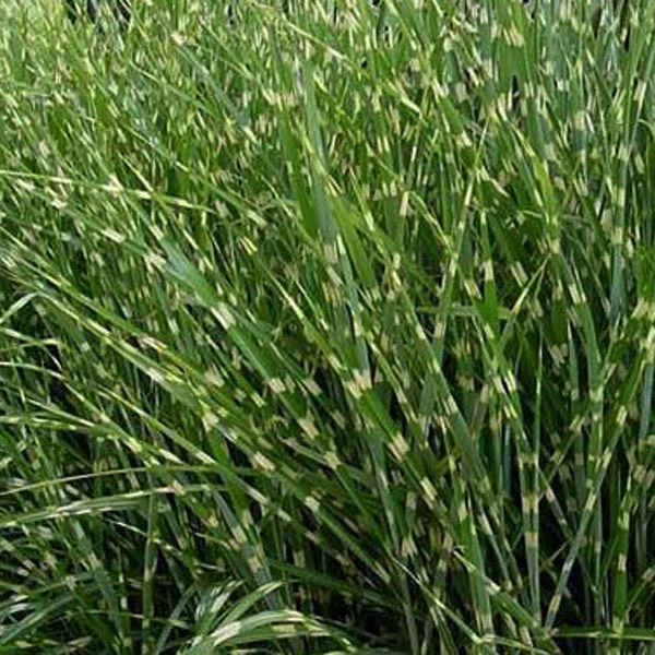 Northern nurseries ornamental grass grasses for Variegated ornamental grass
