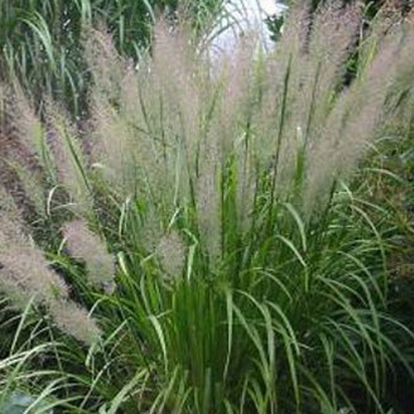The gallery for feather reed grass for Tall feather grass
